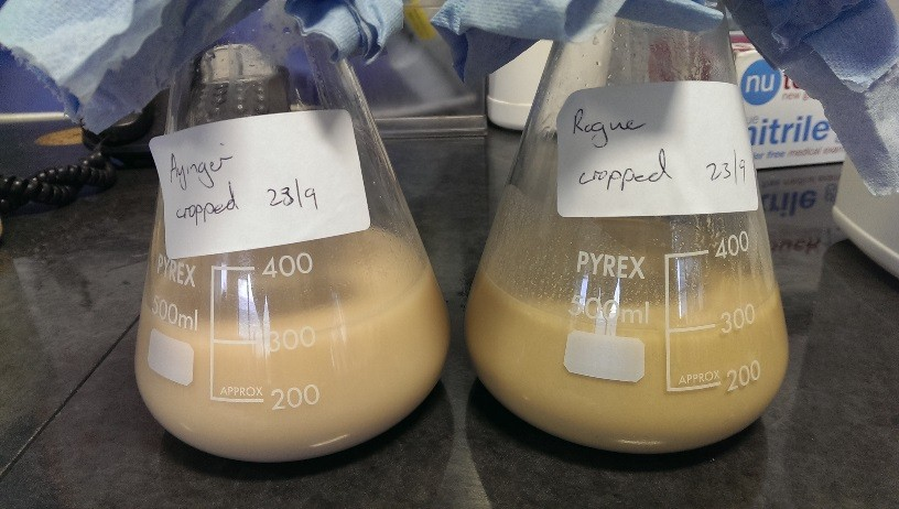 Decanted clean yeast layer